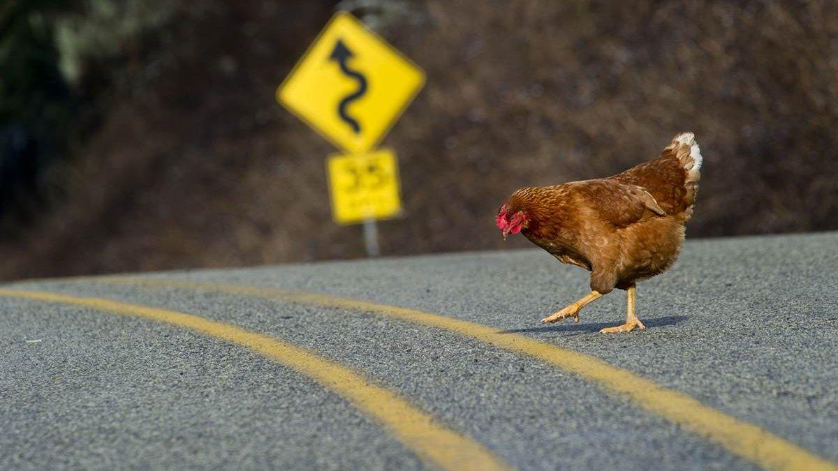 Pollo cruzando carretera